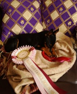 ©Appletor English Toy Terriers